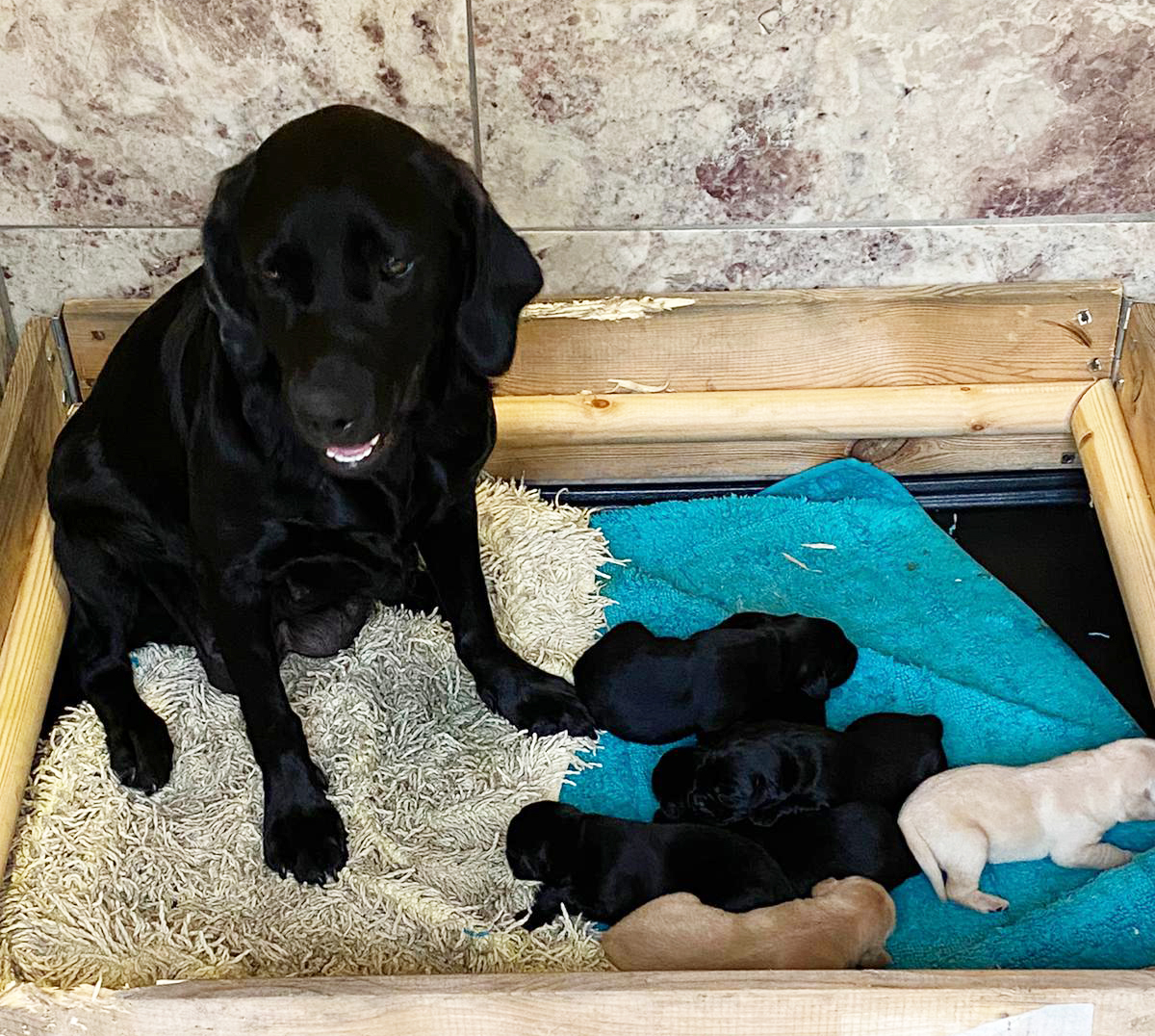 Labrador with litter